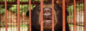 Sun Bear in Sumatra