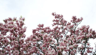 Een magnoliaboom
