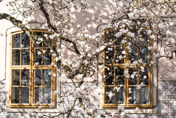 Een magnoliaboom voor een raam