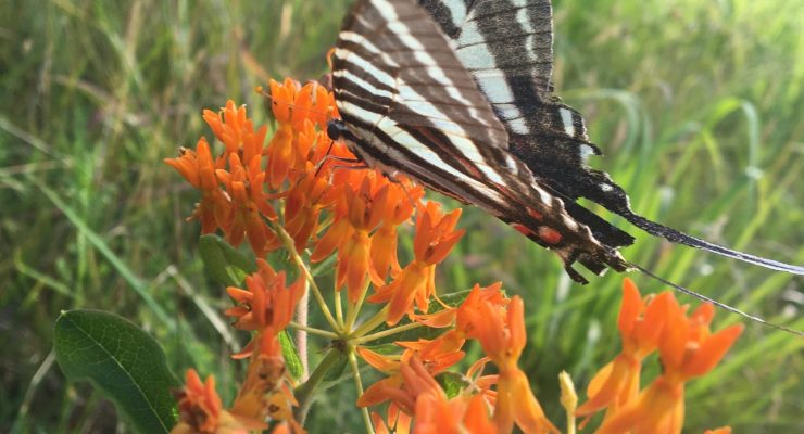 zebra butterfly sipping nectar from the flower of an orange butterfly weed plant.