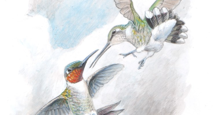 Ruby-throated hummingbirds. illustration.