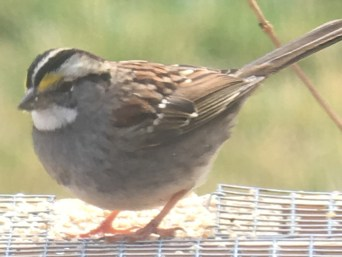 White-Throated Sparrow. Photo by Doug Pifer.