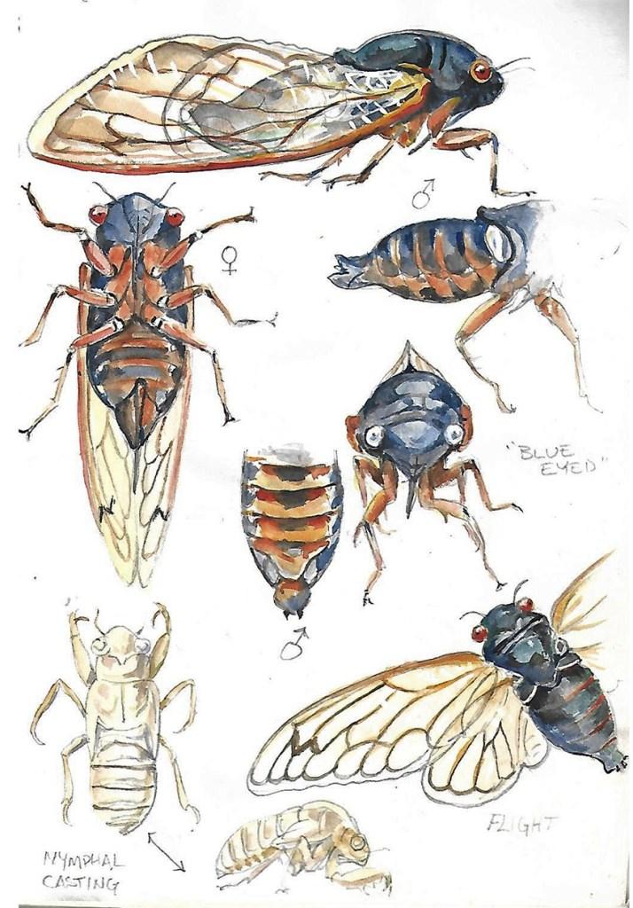 Illustration of cicadas by Doug Pifer  (June 2004, White Post, Virginia)