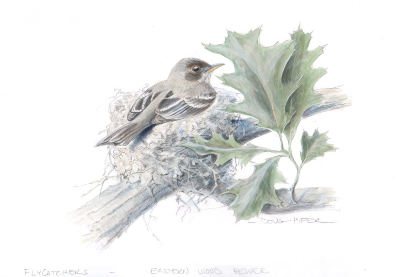 A wood pewee sits in its nest in the fork of a horizontal branch high in a shade tree, where it lays 3 to 5 brown-speckled eggs. Illustration by Doug Pifer, courtesy of the Pennsylvania Game Commission.