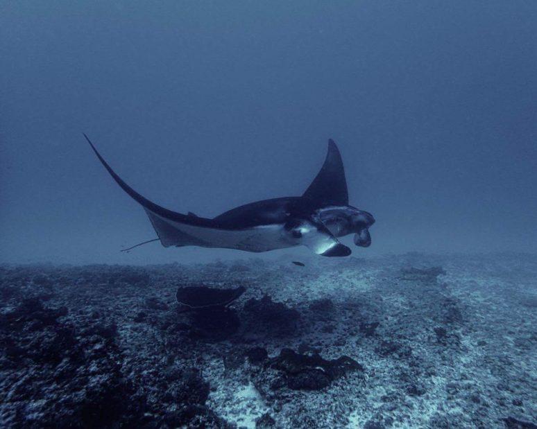 manta-rays-nusa-lembongan-indonesia