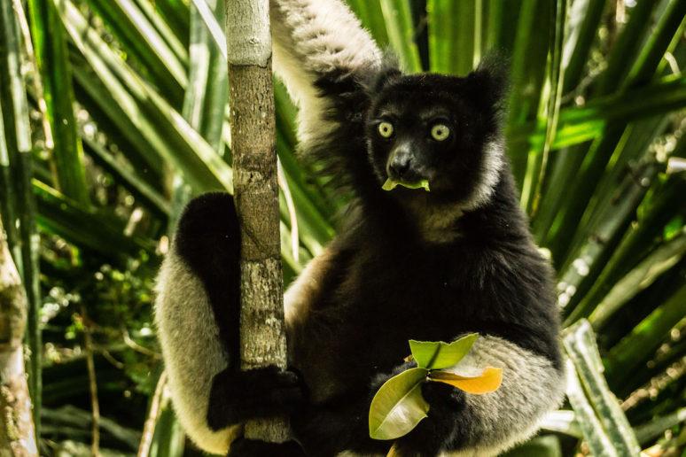 Madagascar-Andisabe-lemur-David