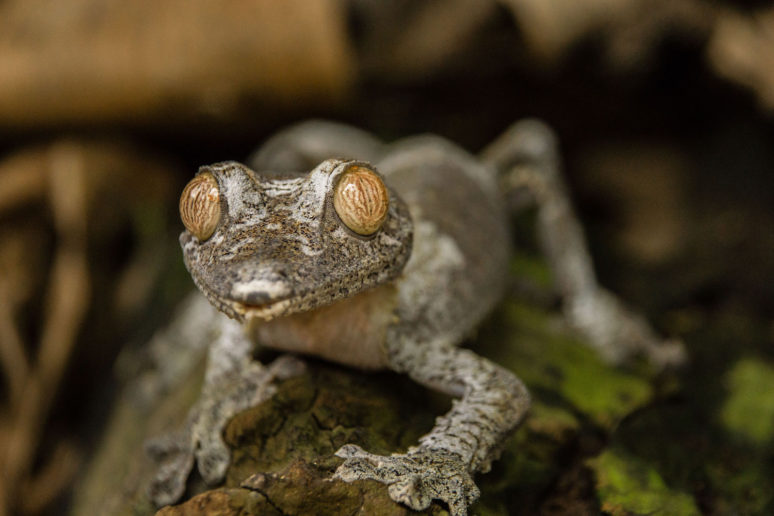 Madagascar-Andisabe-Gecko