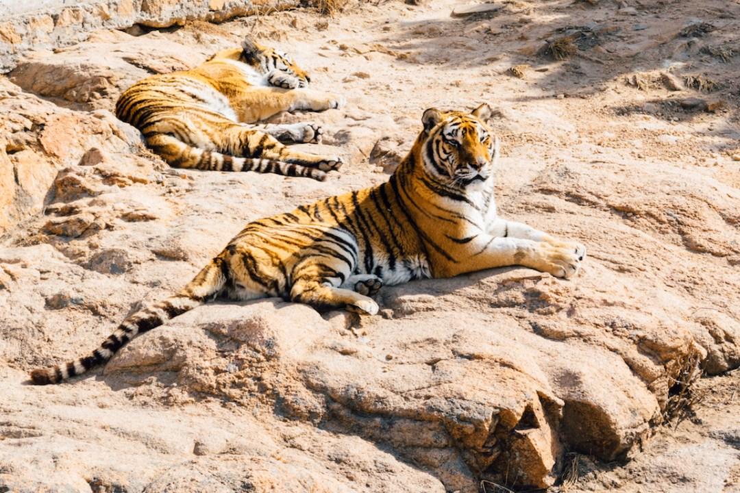 Kanha National Park: Tiger Safari In India