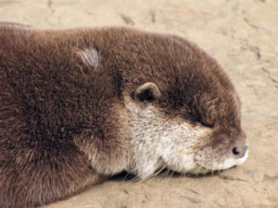 Sloapenden Otter (chidseyc/rgbstock.com)