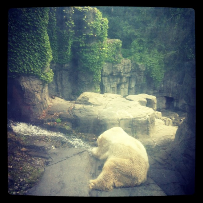 ^^ Gus, the gorgeous Central Park Polar Bear.