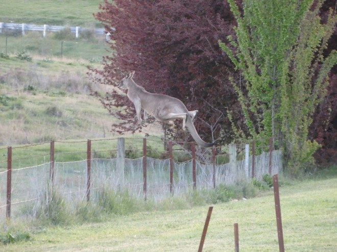 ^^ My dad's amazing kangaroo action shot!