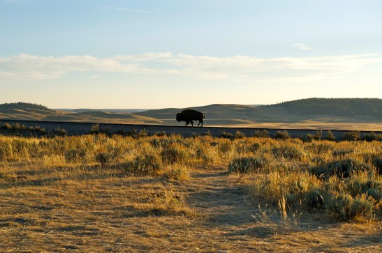 Bison, Yellowstone National Park