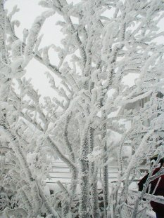 Trees with hard rime on them