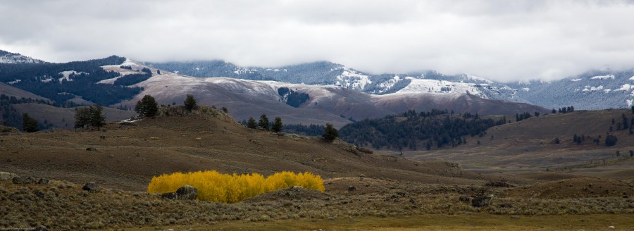 Aspens  Yellowstone National Park