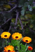 Kale & marigold