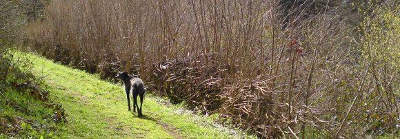 Murph and the hazel-laid path