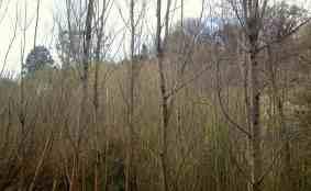 van through the poplars