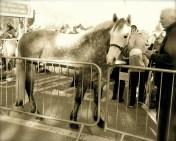 connemara-sporthorse