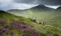 snowdonia-heather
