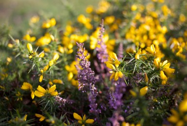 gorse-heather-by-alice-carfrae