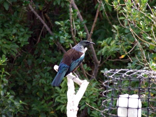 Tui is an iconic New Zealand bird