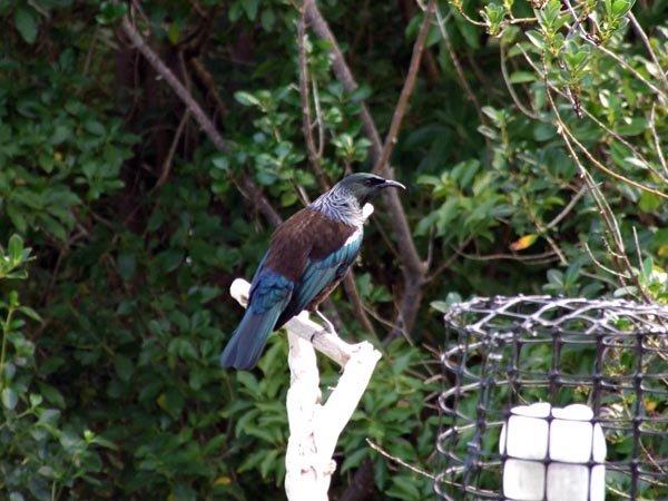 Tui is an iconic New Zealand bird