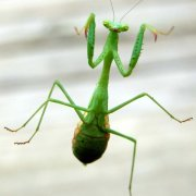 Mantis watching you,...