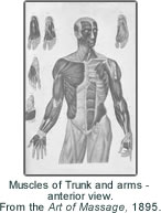 Muscles of Trunk and arms - anterior view