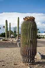 Barrel Cactus Garden