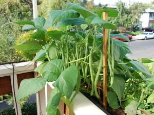 organic-container-garden