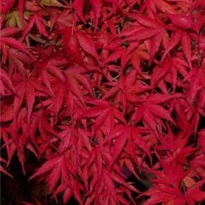 Kamagata autumn colour 300x300 A suitable Japanese maple for growing in a pot