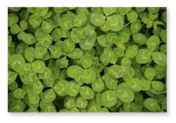clover as fertilizer
