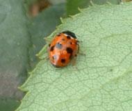 Adult spotted ladybird (predator) on rose leaf