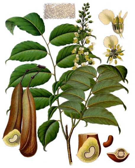 Myroxylon Toluifera