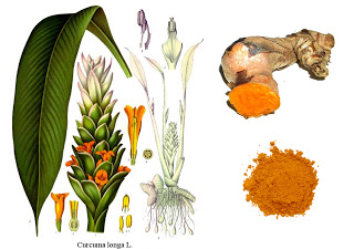 curcuma_longa_yellow_root