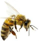 bee-stings-shutterstock_107138072-617x416