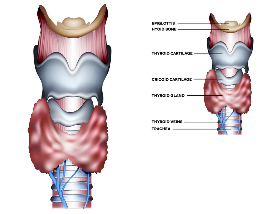 Thyroid-gland1