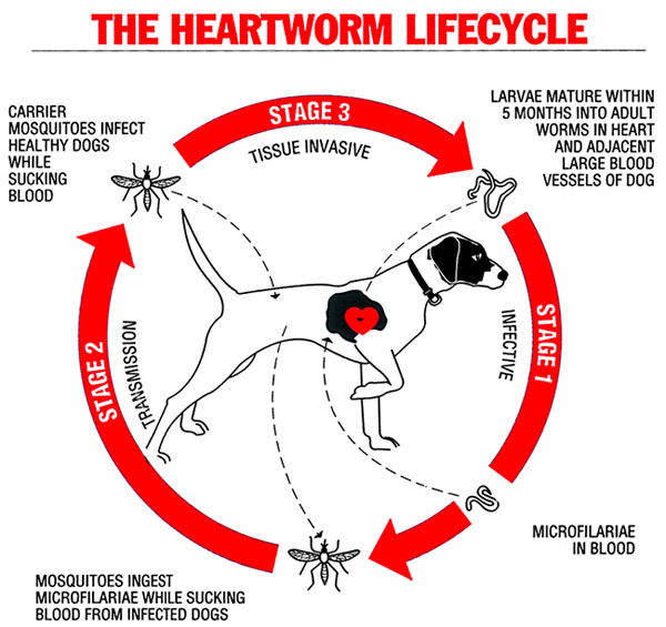 heartworm-lifecycle-dog_vp