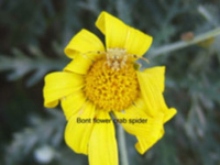 Bont flower crab spider