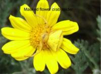 Masked flower crab spider