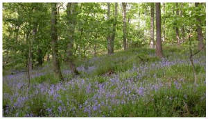 Bluebells-trees.JPG