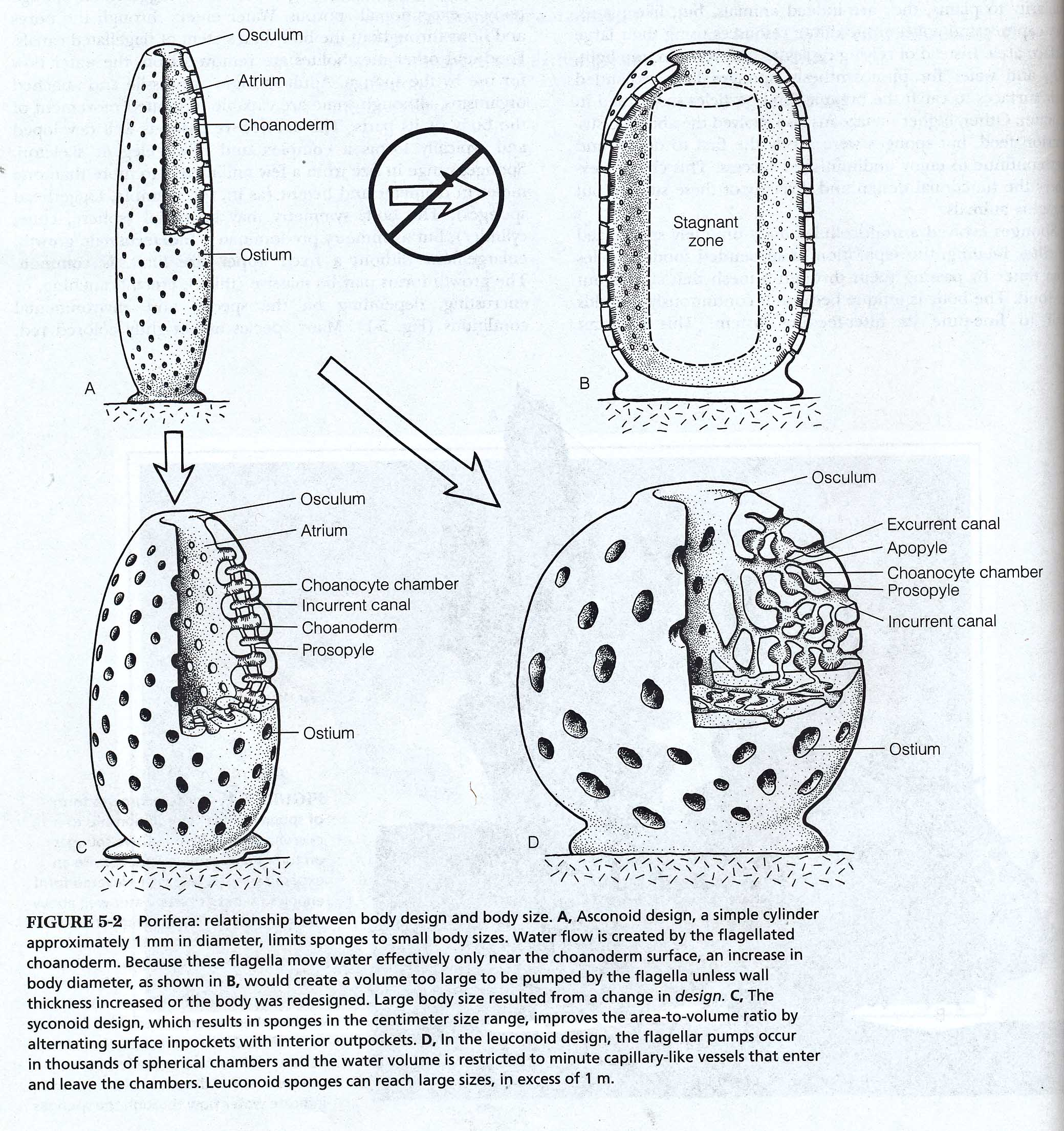 Sponge Diagrams And Photos