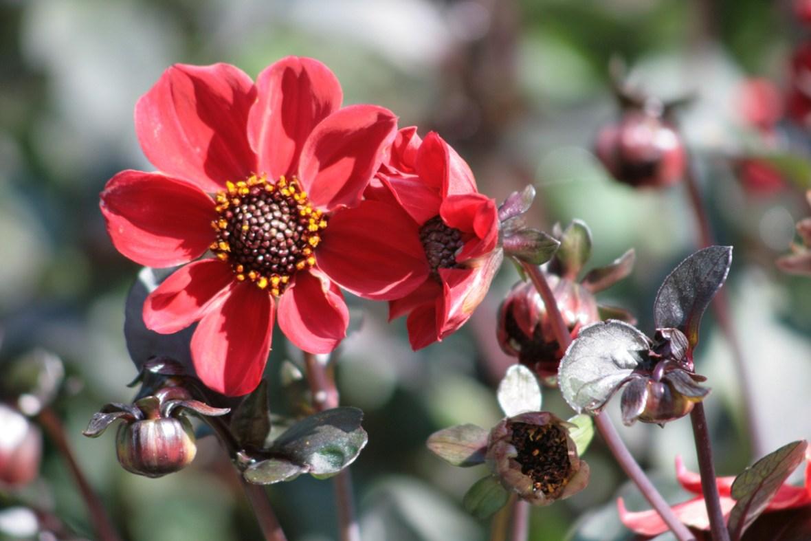 """""""Preston Park"""" heißt diese einfachblühende rote Dahlie. Foto: Julia Marre"""