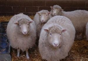 Oveja Dolly fue clonada de nuevo