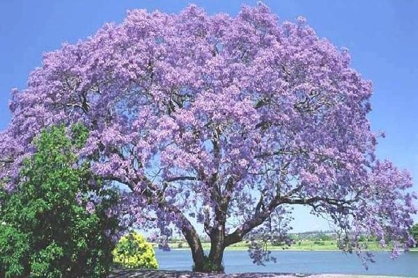 El árbol del Kiri, un aliado para proteger o recuperar nuestro maltratado medio ambiente - arbol-del-kiri