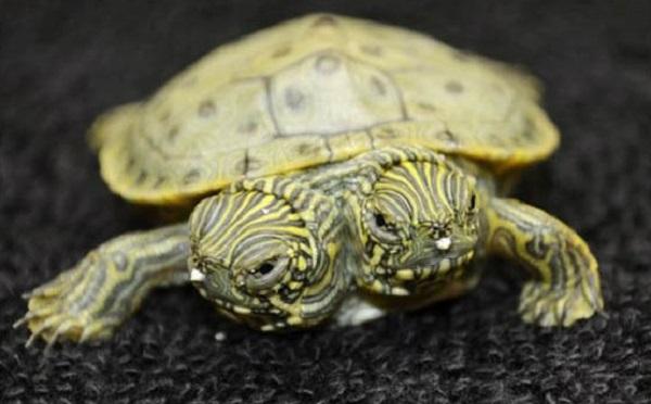 Tortuga de dos cabezas nace en zoológico de Texas - nace-tortuga-de-dos-cabezas