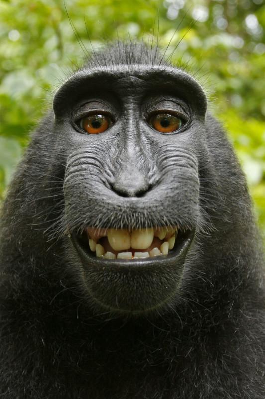 Ésta es la selfie del mono por la que se ha desatado una batalla legal - selfie-del-mono-532x800
