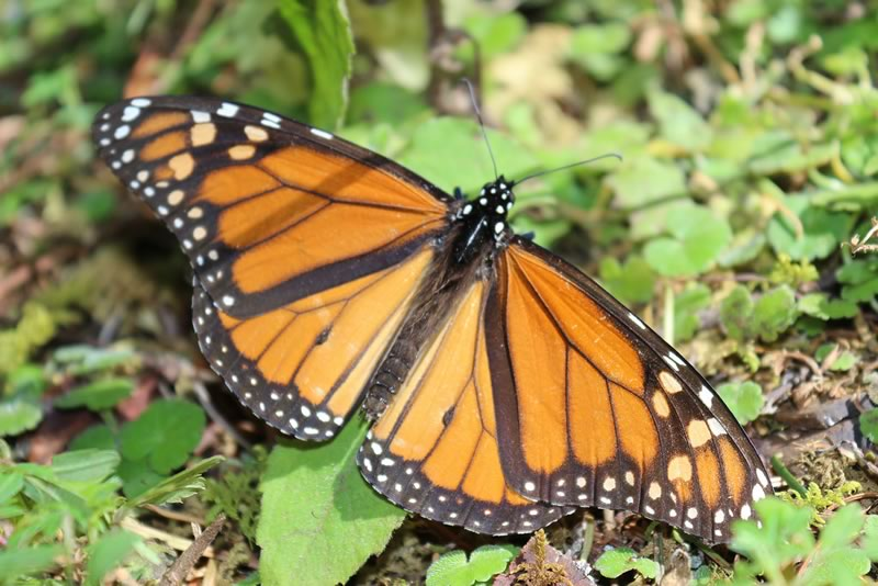 Diseñan sistema computacional para protección y sustentabilidad de la mariposa monarca - mariposa-monarca