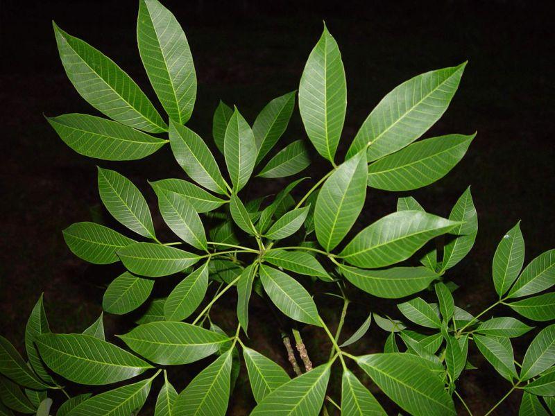 ¿Cansado del calor? 5 plantas que absorben el calor y purifican el aire de tu casa - arbol-de-caucho-800x600