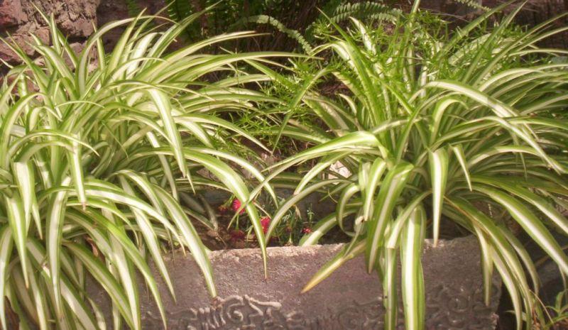 ¿Cansado del calor? 5 plantas que absorben el calor y purifican el aire de tu casa - lazo-de-amor-800x465